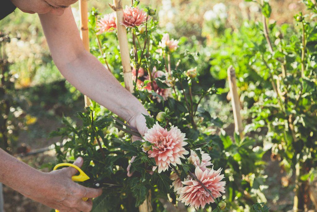 Taller de cultivo de dahlias y diseño floral